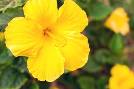 Yellow hibiscus flowers in the garden. Close up shot.