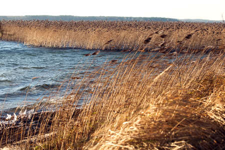Dry reeds on the lake in autumn