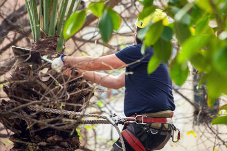 A gardener pruning leaves of palm on the top of tree. Stock fotó