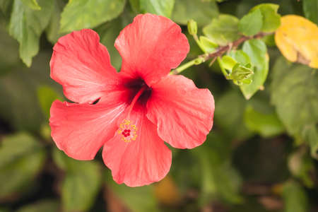 Red hibiscus flower over green leaves background. China rose flower