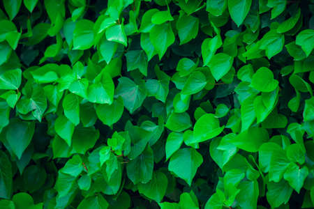 Green leaves background, natural plant texture