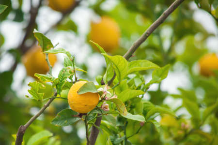 Yellow lemons hanging on tree in the garden Stock fotó