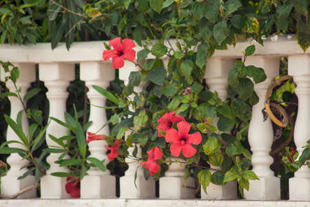Red hibiscus flower growing near white column fence