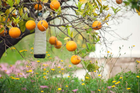 Orange trees with fruits in the garden. Citrus tree
