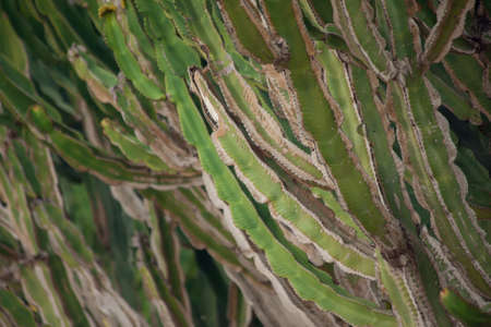 Succulent plant called Euphorbia Trigona also known as African milk tree, cathedral cactus, Abyssinian euphorbia, Torrevieja, Spain.