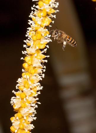 Bee and yellow palm flower photo