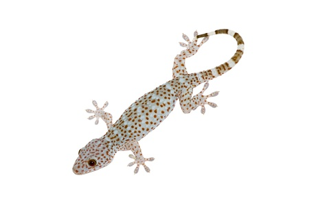 isolated full body of gecko on white background photo