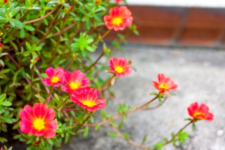 Purslane flower photo
