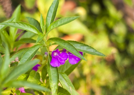 purple garden balsam flower .
