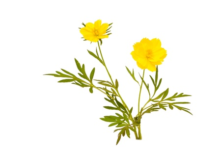 isolated sulfur cosmos flower on white background