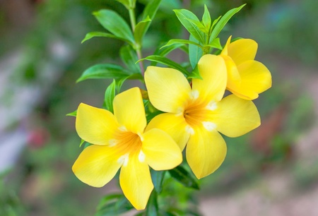 beautiful allamanda with leaf