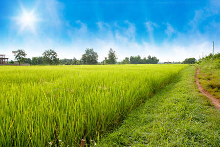ricefield with blue sky background