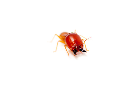 soldier termite macro shot and isolated on white Standard-Bild