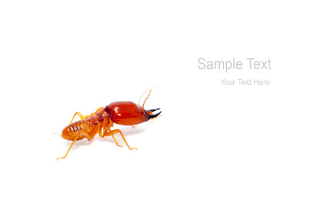 termite: soldier termite macro shot and isolated on white Stock Photo