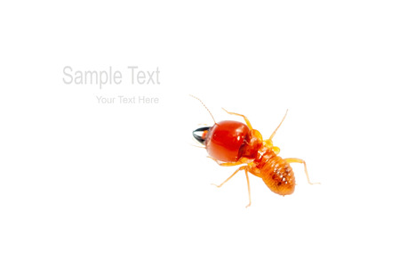 termite: soldier termite isolated on white