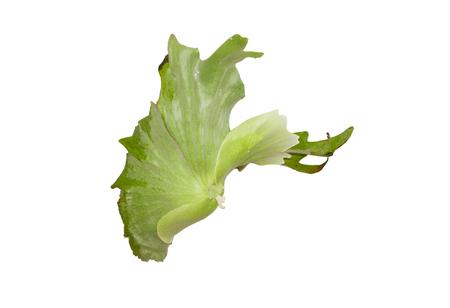platycerium: Platycerium ferns isolated on white