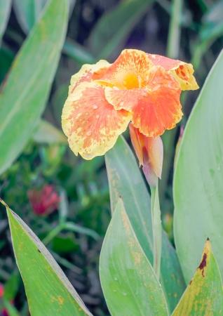 closeup of a beautiful orange yellow canna lily
