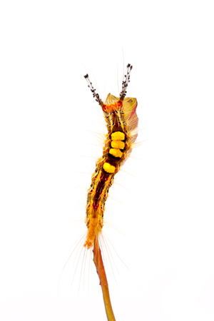 strange caterpillar with many venomous spines