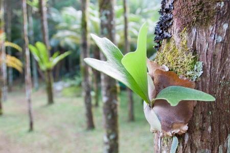 platycerium: Platycerium ferns on host tree