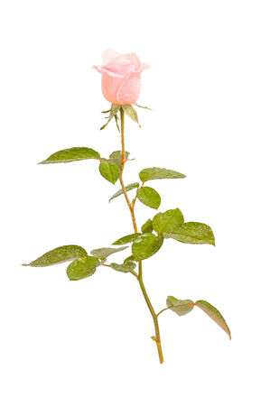 Beautiful pink rose with drops isolated on white