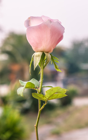 pink rose with blur background photo
