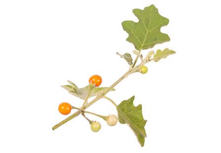 expectorant: Solanum sanitwongsei, Thai food and herb, isolated on white