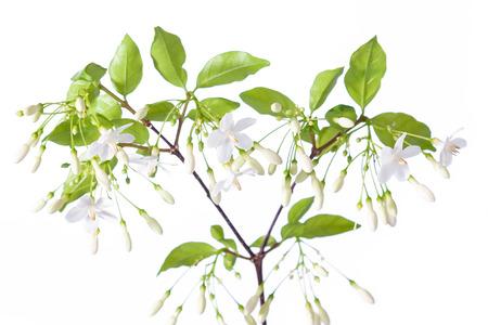 Wrightia religiosa Benth isolated on white