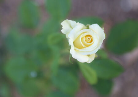 top view yellow rose with blur background