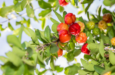 acerola fruit and plant Stock Photo