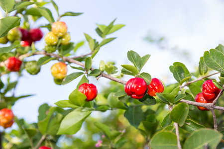 acerola fruit and plant Standard-Bild