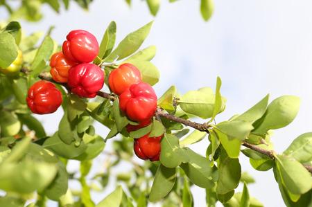 acerola fruit