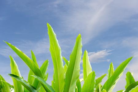 curcumin: Turmeric leaf with blue sky background