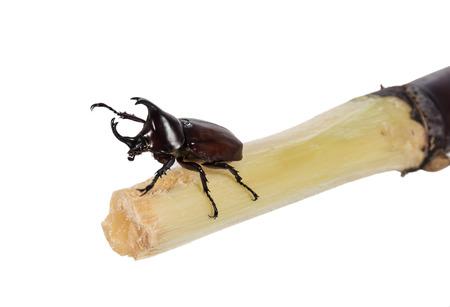 rhinoceros beetle catch on sugarcane isolated on white