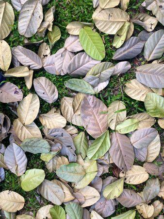 dried leaf: Dried leaf falling down onto green grass.