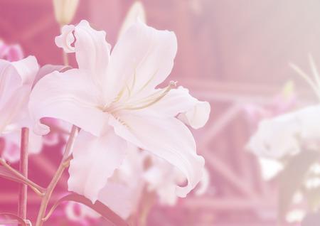 color white: color de fondo de la flor lilly blanco