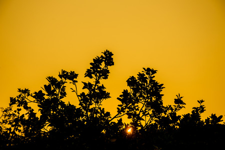Silhouette of pamelo plant with sunray