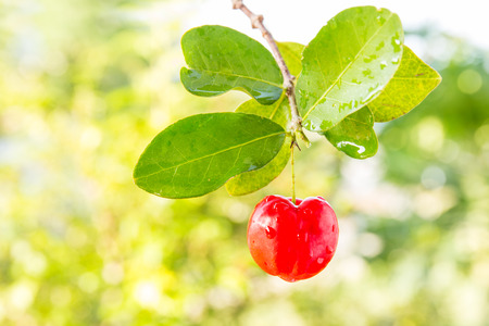 acerola fruit on branch with blur background