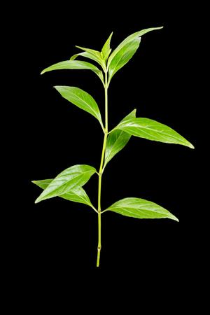 traditional remedy: Andrographis paniculata plant