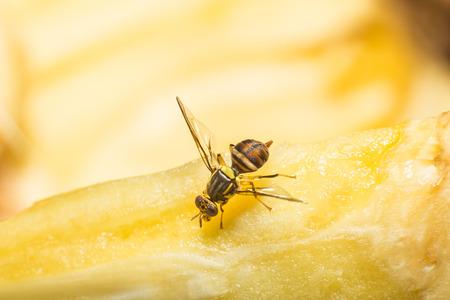 fruit fly sucking sweet from ripe jackfruit Foto de archivo