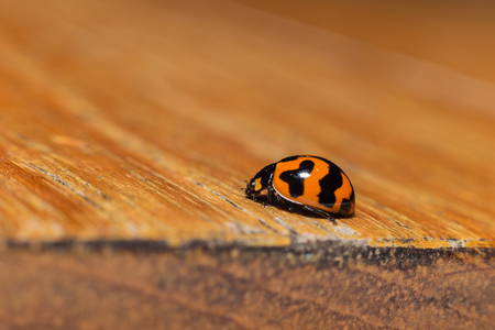teak wood: ladybird bug on teak wood