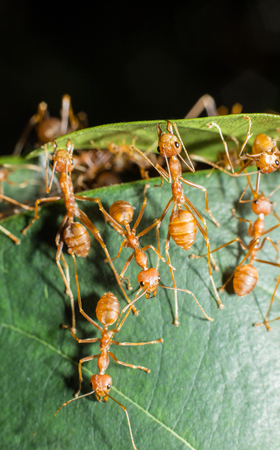 red ant making nest