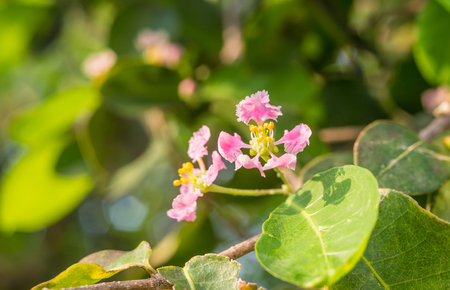 closed up of acerola flower in morning light