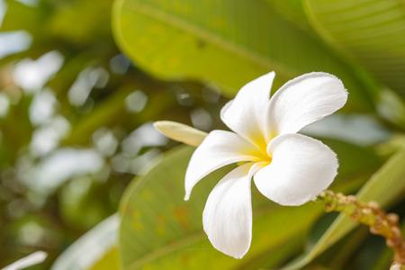 white plumeria with blur background