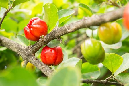 acerola cherry fruit on branch
