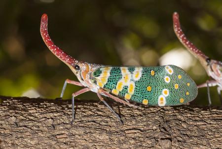 macro of Lanternflies bug