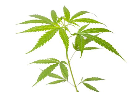 leaf of cannabis on white background Reklamní fotografie