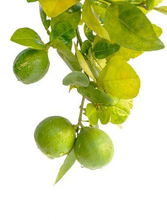 organic  lemon plant focus on lemon isolated on white