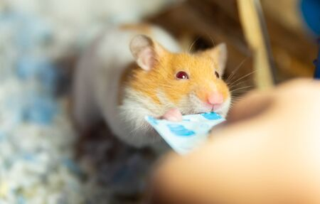 cute hamster eating food giving by human hand