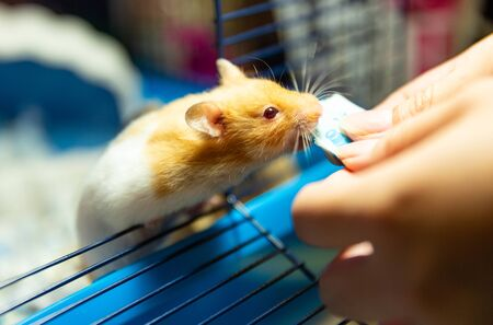 cute hamster eating food giving by human hand Reklamní fotografie - 131702218