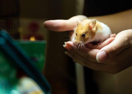 cute hamster in human hand